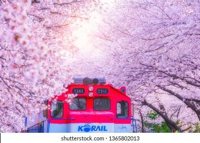 JINHAE, SOUTH KOREA - MARCH 31, 2019 : Cherry blossom at Yeojwacheon Stream, Jinhae, South Korea.