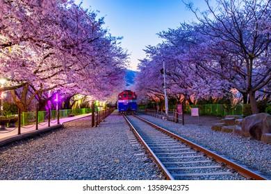 Jinhae,South Korea-April 1,2019: View  of Train between cherry blossom tree line in Jinhae Gunhangje Festival at Gyeonghwa station, South Korea