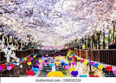Jinhae,South Korea-April 1,2019:Cherry blossom festival at Yeojwacheon Stream at Jinhae, South Korea