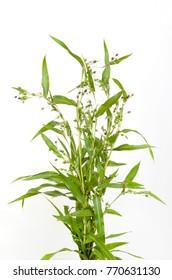 Job's tears ( coix lachryma-jobi )  of wild grass  on white background