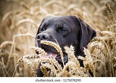 Jock the black Labrador in the corn field