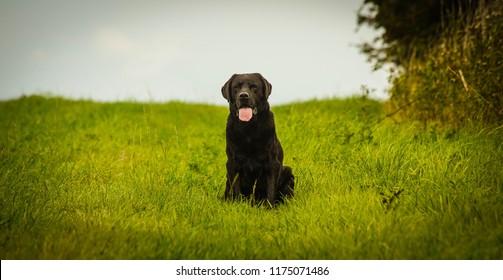 Jock the Labrador