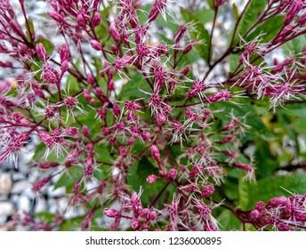 A Joe Pye Weed, Eupatorium purpureum, freshly blooming in a perennial garden