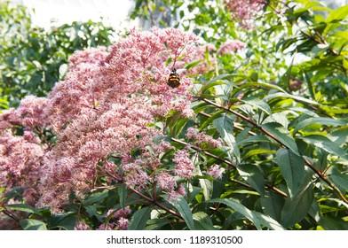 Joe pye weed or eutrochium purpureum plant with green flowers