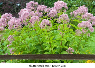 Joe Pye Weed (Eutrochium purpureum) along fence, Marion Co, IL (PR)