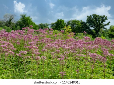 Joe Pye Weed grows in profusion on the prairie at Nachusa Grasslands Nature Conservancy in Ogle and Lee Counties, Illinois