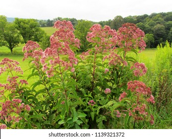 Joe-Pye weed in bloom against a pasture and trees; Christiansburg, VA, USA