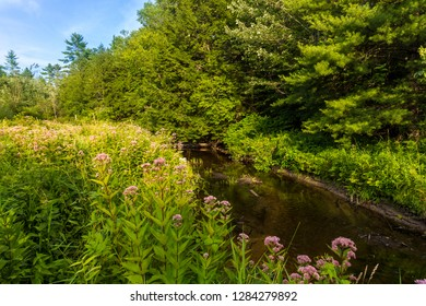 Joe-pye weed, Eupatorium, line the Oyster River in Madbury, New Hampshire. (MR)