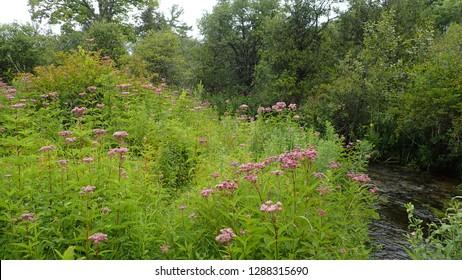 Joe-Pye Weed Forest Wildflower Meadow