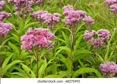 Joe-Pye Weed wild flowers, Eutrochium,  growing in a field