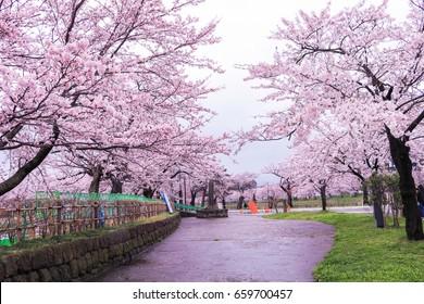 JOETSU, JAPAN - April 9, 2017:Beautiful cherry blossom sakura in spring time ,Sakura Festival ,Muramatsu Park has around 3,000 cherry blossom trees, Niigata,Japan.