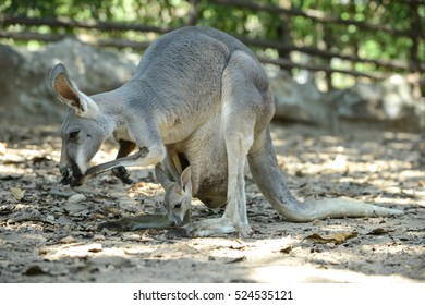 joey (baby kangaroo) in  the pouch