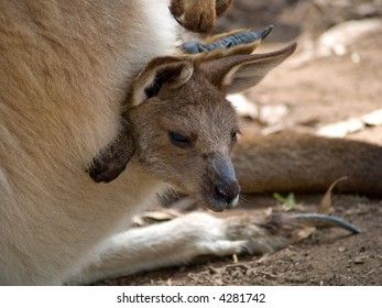 Joey emerging from pouch
