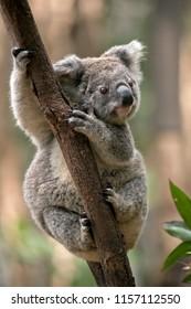 the joey koala is climbing up a tree
