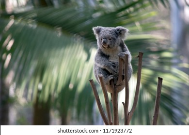 the joey koala is at the top of a tree