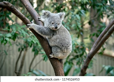 the joey koala is trying to go down the tree