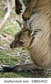 the joey is sticking his head out of the pouch