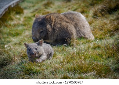 Joey wombat running from its mother in Cradle Mountain, Tasmania Australia, blur
