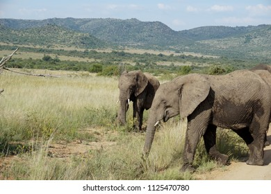 Johannesburg/ South Africa - Elefants in the African Savannah of Pilanesberg National Reserve in Johannesburg on May 2nd of 2018.