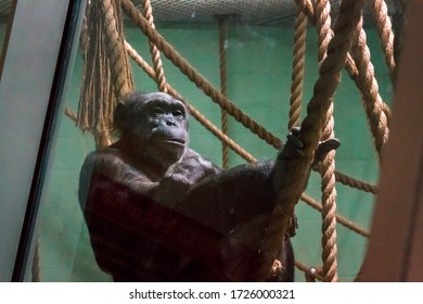 John Ball Zoo, Grand Rapids, MI /USA - March 18th 2017:  Chimp lounging on a rope at the John Ball Zoo in Grand Rapids Michigan