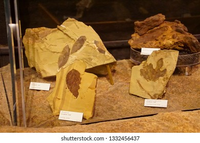 JOHN DAY, OREGON - JUN 23, 2018 - Fossil leaves found in the John Day Fossil Beds National Monument, Oregon