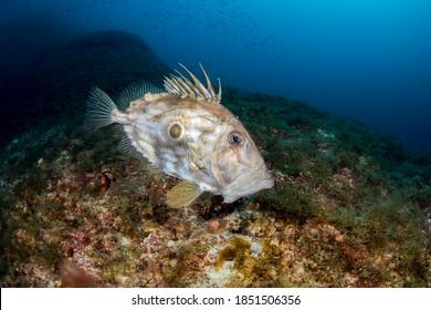 John Dory, St Pierre or Peter's Fish - Mediterranean Sea