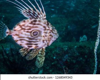 John Dory (Zeus faber Linnaeus,1758)  swimming around the artificial fish reef. Owase, Mie, japan