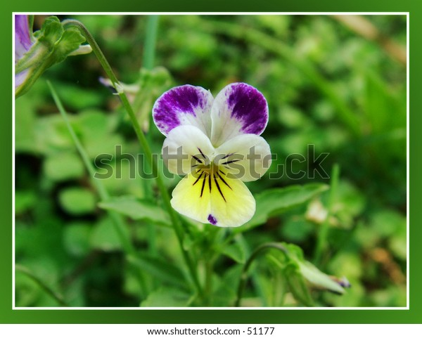 Johnny Jump Up's flower