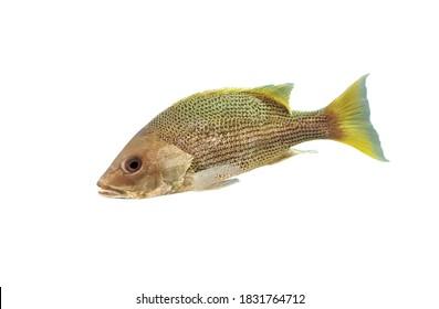 John's snapper (golden snapper,John's sea perch, Big scaled Bream, Fingermark Bream) on isolated white background. Lutjanus johnii is a marine fish.