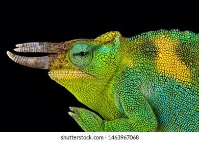 The Johnston's chameleon (Trioceros johnstoni)