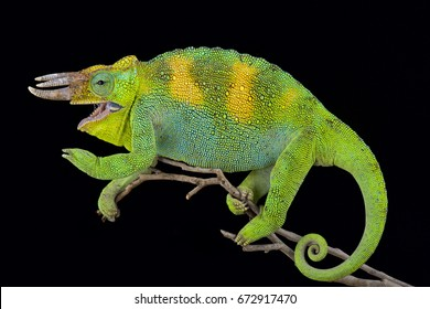 Johnston's chameleon, Trioceros johnstoni