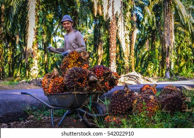 Johor Bahru, Malaysia. 24 Dec 2016 : The unidentified worker throw the oil palm fruit branch to the trolley.