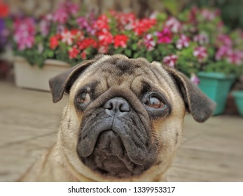 JoJo, the pug looks on, as his hooman clicks portrait shots of him. He is. probably mulling his life choices in the second pic. A pug will change your life. Don't believe me? Get one