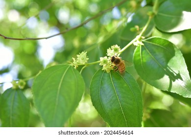 Jojoba blooming  tree flowers plant