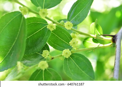 Jojoba blooming tree green healthy oil plant