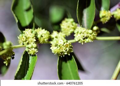 Jojoba blooming tree green healthy oil plant