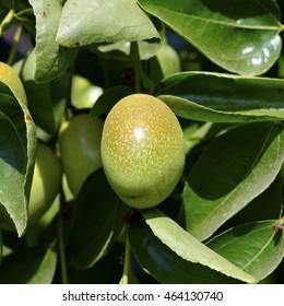 Jojoba green plant with fruits on a farm