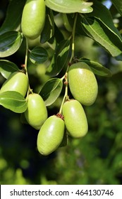 Jojoba green plant with fruits on a farm