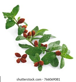 jojoba PLANT  LEAF NATURE FLOWER HEALTHY