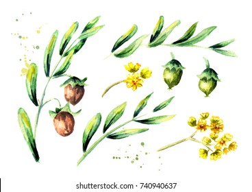 Jojoba plant set with branch, leaves, nuts and flowers. Watercolor hand drawn illustration