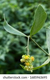 Jojoba (Simmondsia chinensis) flower and leaves