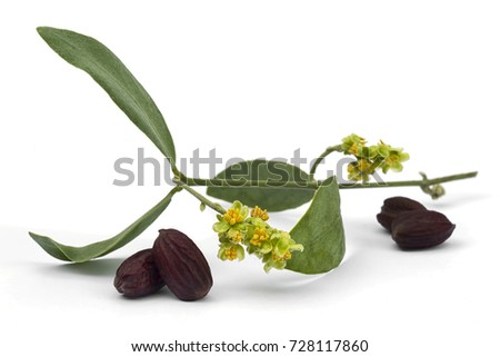 Jojoba (Simmondsia chinensis) flower, leaves and seeds isolated on withe background