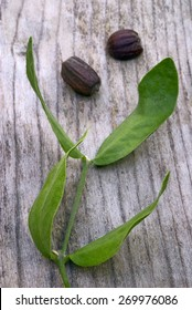 Jojoba (Simmondsia chinensis) leaves and seeds on wooden table
