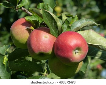 Jonagold apple (Malus domestica), on the tree, in Jork, Altes Land, Germany.