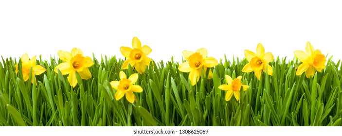 Jonquil flowers and green grass as background texture