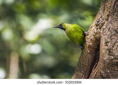 Jordan's leafbird in Minneriya national park, Sri Lanka ; specie Megalaima zeylanica family of Ramphastidae