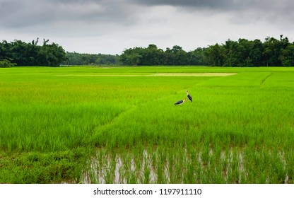 Jorhat, Assam, India. Adjutant storks feed in lush green paddy field after monsoon rains under overcast sky near Jorhat, Assam, India.
