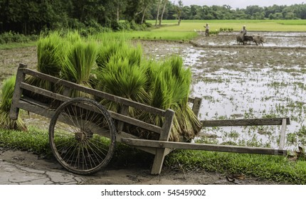 Jorhat, Assam, India. Bundles of green rice saplings stored al fresco on a wooden make-shift cart on cycle wheels await preparations for planting in paddy fields near Jorhat, Assam, India.