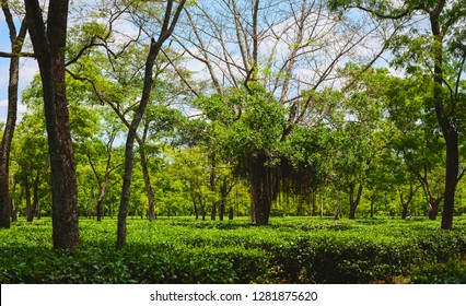 Jorhat, Assam, India. Tall trees help shade a tea plantation ready for harvesting from harsh summer sun on a fine morning in Jorhat, Assam, India.