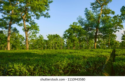 Jorhat, Assam, India. View across tea plantation at harvest time in summer flanked by trees providing shade near Jorhat, Assam, India.